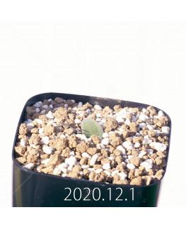 Lachenalia trichophylla ラケナリア トリコフィラ EQ842  22196