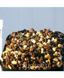 ドリミア アカロフィラ IB13640 実生 22228
