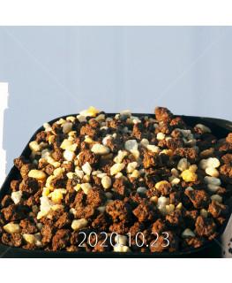 ドリミア アカロフィラ IB13640 実生 22237