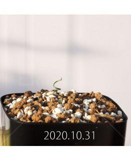 Gethyllis verticillata ゲチリス ベルティシラータ EQ553  22444