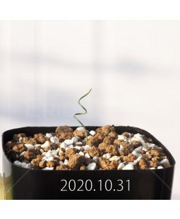 Gethyllis verticillata ゲチリス ベルティシラータ EQ553  22462