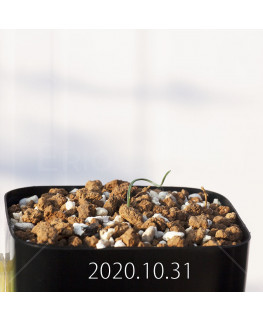 Gethyllis verticillata ゲチリス ベルティシラータ EQ553  22463