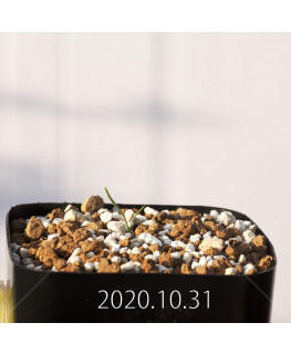 Gethyllis verticillata ゲチリス ベルティシラータ EQ553  22470