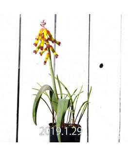 ラケナリア アローイデス クアドリカラー変種 子株 2281