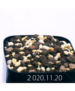 Androcymbium volutare アンドロキンビウム ヴォルタレ GS2153  22911