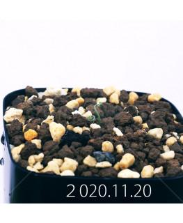 Androcymbium volutare アンドロキンビウム ヴォルタレ GS2153  22915