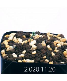 Androcymbium volutare アンドロキンビウム ヴォルタレ GS2153  22916