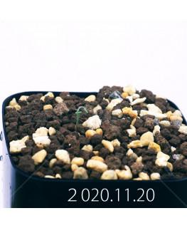 Androcymbium volutare アンドロキンビウム ヴォルタレ GS2153  22925
