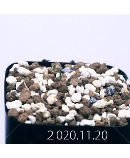 Androcymbium volutare アンドロキンビウム ヴォルタレ GS2153  22927