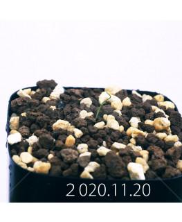 Androcymbium volutare アンドロキンビウム ヴォルタレ GS2153  22930