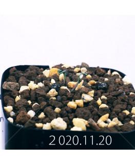 Androcymbium volutare アンドロキンビウム ヴォルタレ GS2153  22931