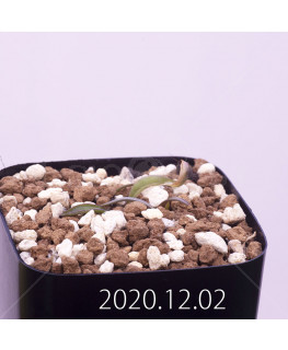 Lachenalia karoopoortensis ラケナリア カループールテンシス EQ636  23008