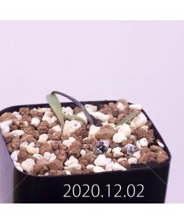 Lachenalia karoopoortensis ラケナリア カループールテンシス EQ636  23009