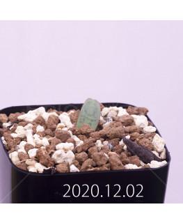 Lachenalia karoopoortensis ラケナリア カループールテンシス EQ636  23017