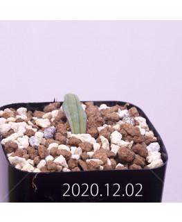 Lachenalia karoopoortensis ラケナリア カループールテンシス EQ636  23019