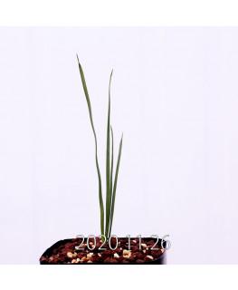Moraea gigandra モラエア ギガンドラ EQ931  23095