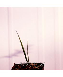 Moraea gigandra モラエア ギガンドラ EQ931  23098