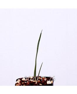 Moraea gigandra モラエア ギガンドラ EQ931  23105