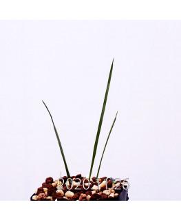Moraea gigandra モラエア ギガンドラ EQ931  23107