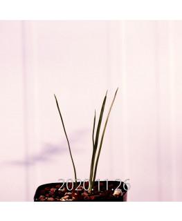 Moraea gigandra モラエア ギガンドラ EQ931  23113