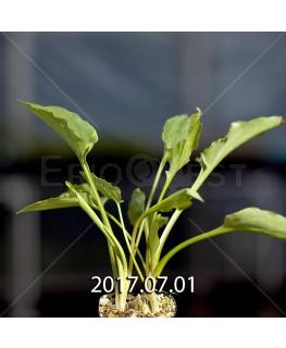ドリミオプシス マキュラータ  ES16593 子株 2401
