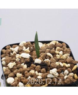 Daubenya aurea ダウベニア アウレア コクシネア変種  24233