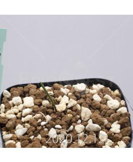 Daubenya aurea ダウベニア アウレア コクシネア変種  24236