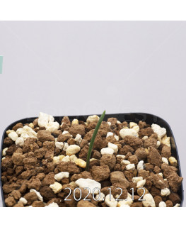 Daubenya aurea ダウベニア アウレア コクシネア変種  24242