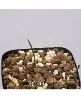 Daubenya aurea ダウベニア アウレア コクシネア変種  24243