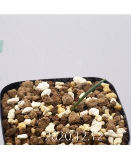 Daubenya aurea ダウベニア アウレア コクシネア変種  24244
