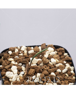 Daubenya aurea ダウベニア アウレア コクシネア変種  24246