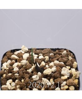 Daubenya aurea ダウベニア アウレア コクシネア変種  24247