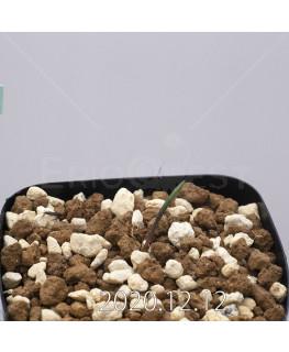 Daubenya aurea ダウベニア アウレア コクシネア変種  24248