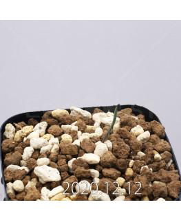 Daubenya aurea ダウベニア アウレア コクシネア変種  24253