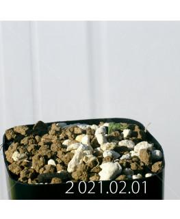 Moraea pritzeliana モラエア プリツェリアーナ EQ879  24581
