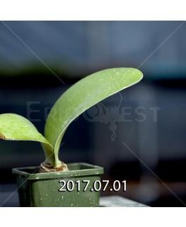 ハエマンサス アルビフロス 子株 2537