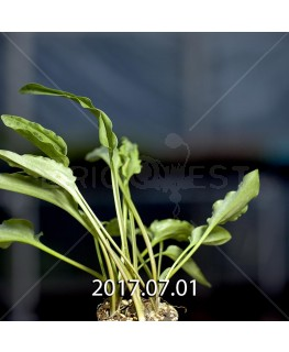 Drimiopsis maculata ドリミオプシス マキュラータ LAV30689  2745