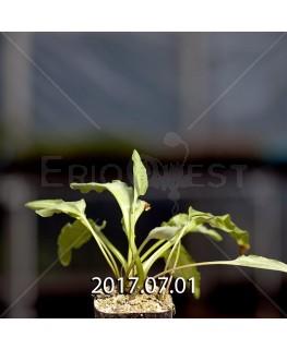 ドリミオプシス マキュラータ  LAV30689 子株 2748