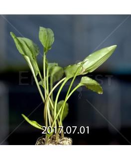 Drimiopsis maculata ドリミオプシス マキュラータ LAV30689  2753