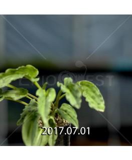 ドリミオプシス マキュラータ  LAV30689 子株 2758