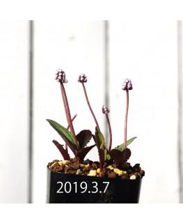 ドリミオプシス sp. nov. 子株 2841