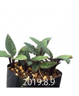 ドリミオプシス sp. nov. 子株 2848