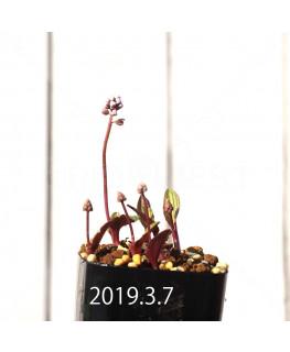 ドリミオプシス sp. nov. 子株 2874