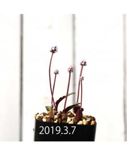 ドリミオプシス sp. nov. 子株 2875