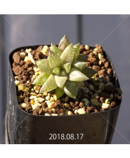 ハオルチア レティキュラータ フリンギー変種 RIB0462, 3206