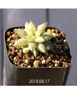 ハオルチア レティキュラータ フリンギー変種 RIB0462, 3207