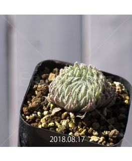 ハオルチア テネラ 子株 3461