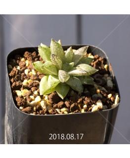 ハオルチア レティキュラータ フリンギー変種 RIB0462, 3470