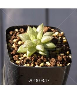 ハオルチア レティキュラータ フリンギー変種 RIB0462, 3472