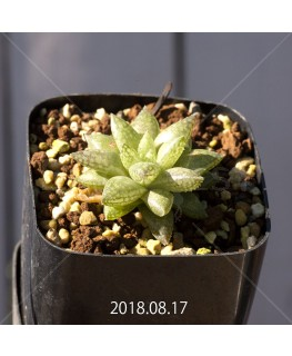 ハオルチア レティキュラータ フリンギー変種 RIB0462, 3475